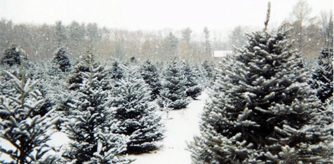 christmas tree harvesting, christmas tree farm, christmas date ideas